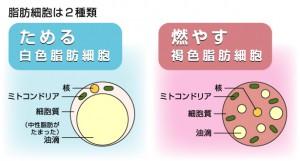 褐色脂肪細胞
